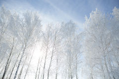 Winter framework. White frozen trees and blue sky. Royalty Free Stock Photo