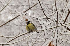 Winter front view of yellow caucasian titmouse in snowy branches. Winter front view of Caucasian yellow titmouse sitting in snowy tree branches in winter in park royalty free stock photo