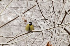 Winter front view of a raked yellow Caucasian titmouse in snowy. Winter front view of a raked Caucasian yellow titmouse sitting in snowy tree branches with snow stock photos