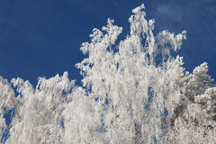 Winter frost on birch tree branches Royalty Free Stock Images