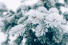 Winter frost Christmas evergreen tree background. Ice covered blue spruce branch close up. Frosen branch of fir tree covered with. Snow, copy space. Selective stock images