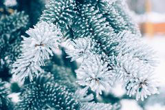Winter frost Christmas evergreen tree background. Ice covered blue spruce branch close up. Frosen branch of fir tree covered with royalty free stock image