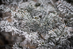 Winter frost on christmas tree. Royalty Free Stock Photography
