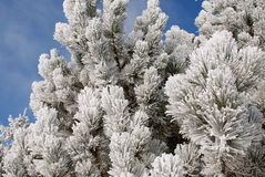 Winter Frost. Cold winter's day hoar frost on a pine tree with a blue sky background stock photos
