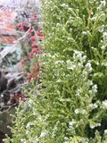 Winter frost covering garden shrubs royalty free stock photography