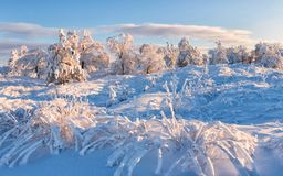 Winter frost forest and grass. Russia. Cold and Snow. On Sunset Stock Photos
