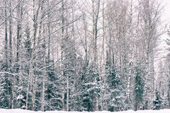 Winter frost forest Royalty Free Stock Image