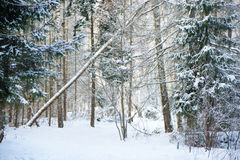 Winter frost forest Stock Image
