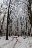Winter frost forest. Frost winter trees in snow forest Royalty Free Stock Images