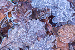 Winter frost leaves On the forest floor Nature  details Royalty Free Stock Photos
