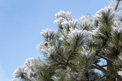 Winter frost on pine Stock Images