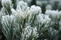 Winter frost on pine, christmas tree Royalty Free Stock Images