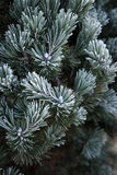 Winter frost on pine, christmas tree Stock Photography