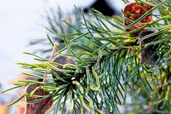 Winter frost on pine needles with dried leaves. Royalty Free Stock Photography