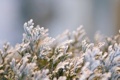 Winter frost on pine tree Royalty Free Stock Photos