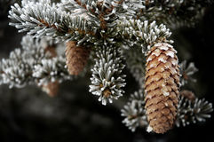 Winter Frost on Pine Trees Snowy Wintertime Royalty Free Stock Photo
