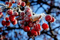 Winter Frost on Red Berries Stock Photos
