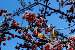 Winter Frost on Red Berries Stock Image