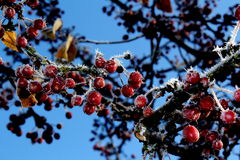 Winter Frost on Red Berries Royalty Free Stock Photos