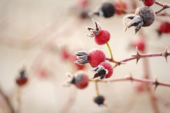 Winter Frost on Rose Hips Stock Photography