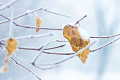 Winter twig and dry leaves in hoarfrost against the background of white cold snow. Winter frost snow frost ice snowflake on a dry leaf and tree branches stock photography