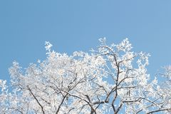 Winter snow ice frost crown of an acacia tree against the blue sky bottom view royalty free stock photo