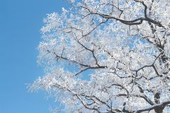 Winter frost snow frost ice crown of an acacia tree against the sky stock photography