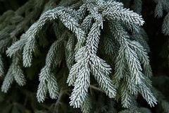 Winter frost on spruce christmas tree Stock Photos