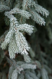 Winter frost on spruce christmas tree Royalty Free Stock Images