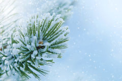 Winter frost on spruce Christmas tree close-up Stock Images