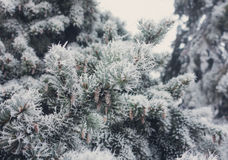 Winter frost on spruce christmas tree close-up Royalty Free Stock Photo