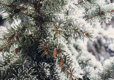 Winter frost on spruce christmas tree close-up Stock Photography