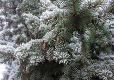Winter frost on spruce christmas tree close-up Royalty Free Stock Image