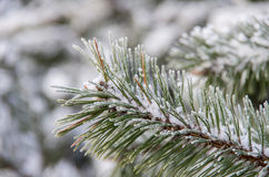 Winter frost on spruce christmas tree close-up. Royalty Free Stock Images