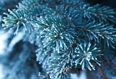 Winter frost on spruce tree. Winter frost on spruce  christmas tree  close-up .Shallow depth-of-field Stock Photography