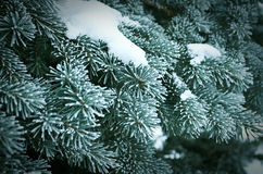 Winter frost on spruce tree. Winter frost on spruce  christmas tree  close-up .Shallow depth-of-field Stock Photos