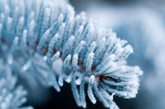 Winter frost on spruce tree close-up Stock Photos