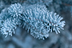 Winter frost on spruce tree close-up Stock Image