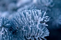 Winter frost on spruce tree  close-up. Shallow depth-of-field Royalty Free Stock Image