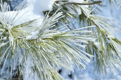 Winter frost on spruce tree Royalty Free Stock Photos