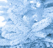 Winter frost on spruce tree close-up, monochrome, toned. Stock Photography