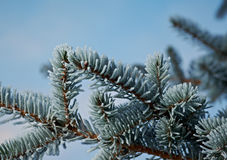 Winter frost on spruce tree. Close-up .Shallow depth-of-field Stock Images