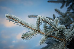 Winter frost on spruce tree Royalty Free Stock Image