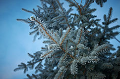 Winter frost on spruce tree. Close-up .Shallow depth-of-field Stock Photos