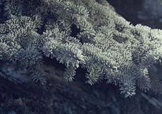 Winter frost on spruce tree Stock Image