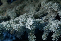 Winter frost on spruce tree. Close-up .Shallow depth-of-field Stock Photography