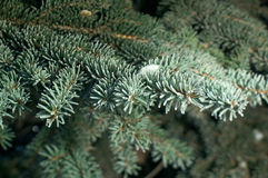 Winter frost on spruce tree Royalty Free Stock Photo