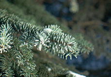 Winter frost on spruce tree. Close-up .Shallow depth-of-field Royalty Free Stock Image
