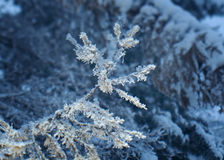 Winter frost on spruce tree. Close-up .Shallow depth-of-field Royalty Free Stock Images