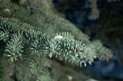 Winter frost on spruce tree. Close-up .Shallow depth-of-field Royalty Free Stock Photo